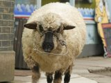 generic image of a sheep 02