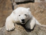 160x120 knut the polar bear at berlin zoo Sipa Press / REX