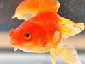 "A teenager reportedly kills three ""witness"" goldfish after an alleged robbery in Arlington Heights, IL."