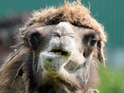 Visitors to a German zoo complain about a baby camel that has not yet developed its humps.