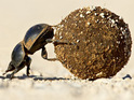 A recent Swedish study proves dung beetles use the stars to navigate with their food.