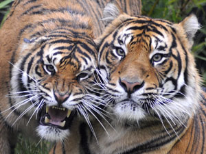 Pair of Tigers