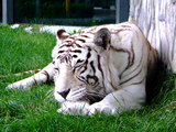 A sleeping white tiger