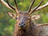 A Male Elk