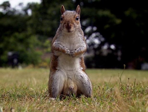 Squirrels Penis 117