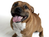 Staffordshire bull terrier - generic