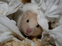 After being buried in a flower bed, the hamster emerges alive and unharmed.