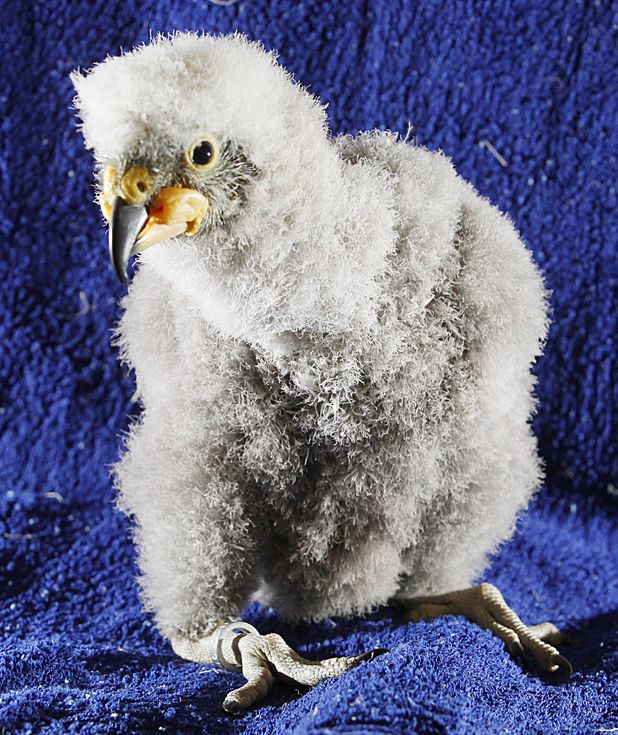 Baby Kea parrot Nelson