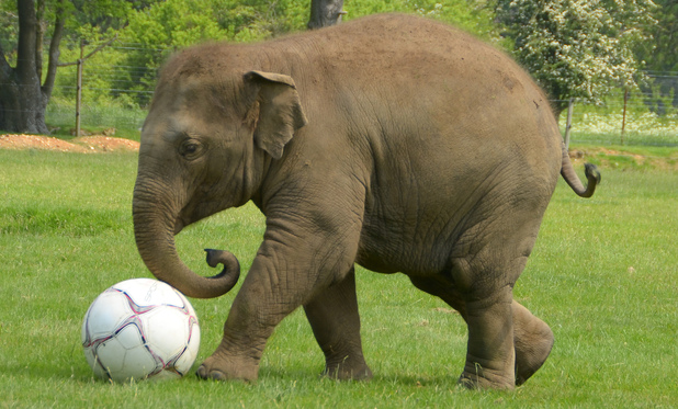 Donna the Elephant enjoys a kick-about at ZSL Whipsnade Zoo
