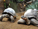 Tortoises 