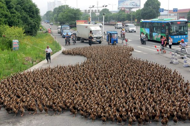 5,000 ducks block traffic