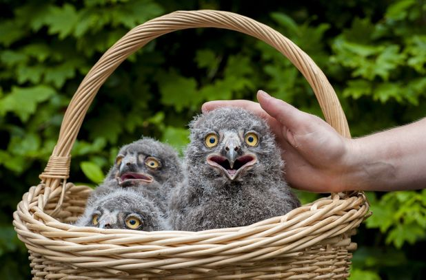 Baby snowy owl chicks