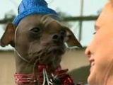 'Mugly' - The world's ugliest dog 2012