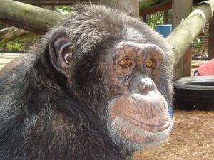 Bubbles, the chimpanzee that once belonged to Michael Jackson