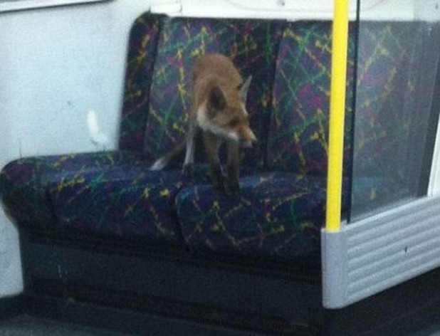 Fox rides the London Underground