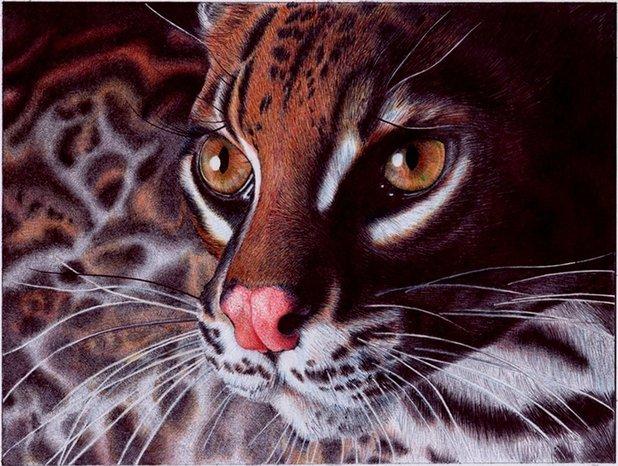 Margay Cat Drawing 'margay Cat'