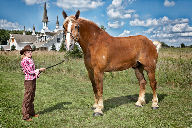 The tallest living horse