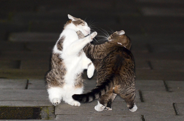 Prime minister David Cameron's cat Larry fights with Freya, chancellor George Osborne's pet, on Downing Street - October 16, 2012