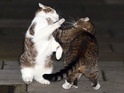 David Cameron's cat Larry seen fighting with George Osbourne's pet Freya.