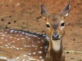 Spotted Deer / Axis Deer