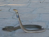 Egyptian cobra snake