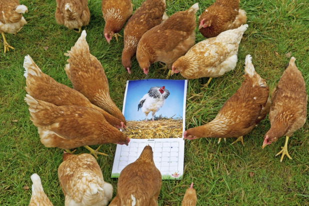 Sexy cockerel calendar produced for hens by the Happy Egg Company