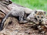 A Northern cheetah cub