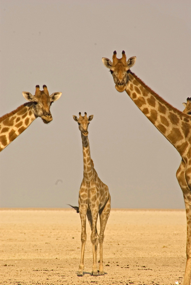 Three desert giraffes