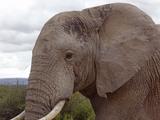 Elephant (generic)