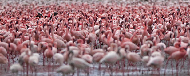 Thousands of flamingos