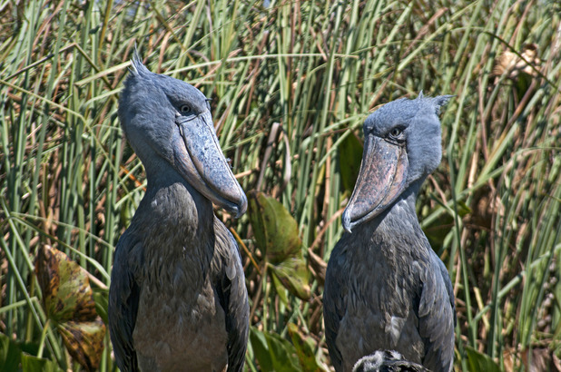 A pair of shoebills