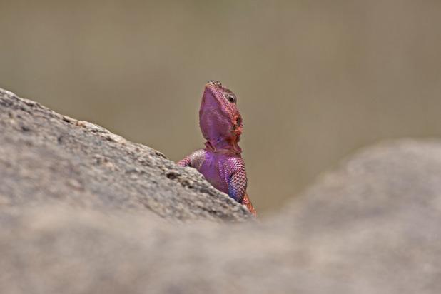 An adult male agama lizard