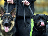 German Shepherd police dogs