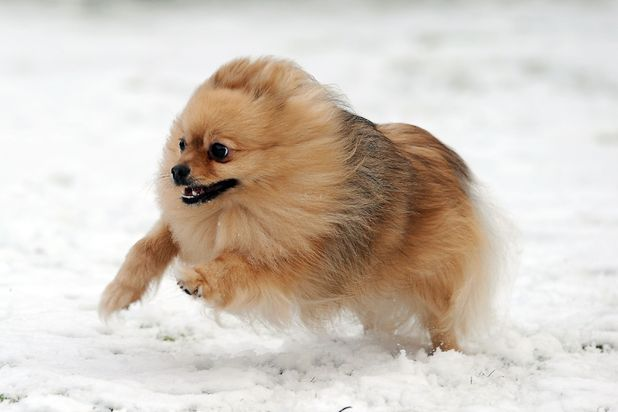 Pomeranian dog in Leicester