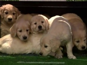 Puppies predict the Superbowl