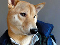 A stylish Shiba Inu from New York rocks designer and high-street menswear online.