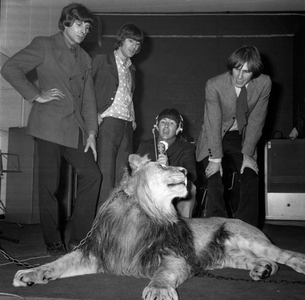 The Troggs in 1967  (from left to right: Peter Staples, Ronnie Bond, Reg Presley and Chris Britton) recording with a lion
