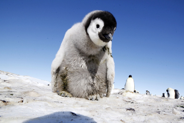 'Penguin: Spy in the Huddle': An Emperor Penguin chick