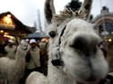 Experts hope llamas will scare off sheep-eating wolves in Skåne.