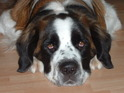 Wellington the St Bernard has got a very luxurious new home.