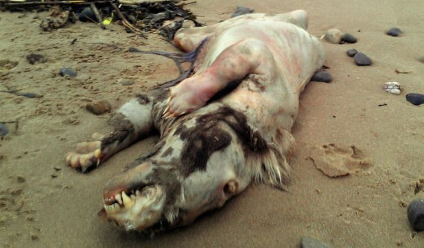 Body of mysterious hairless creature found washed up on a beach in Tenby, Wales