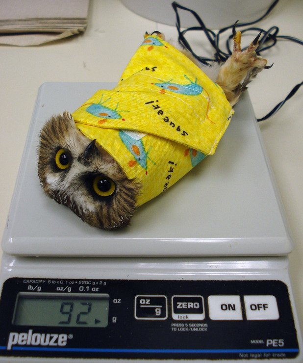 Owl wrapped like a fajita