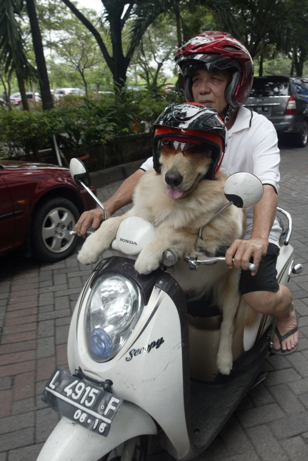Dog on a moped in Indonesia
