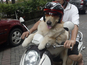 Ace travels on his owner's moped around Indonesia.