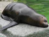 Generic sea lion image