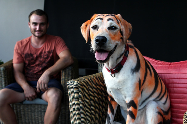 Labrador dyed to look like tiger
