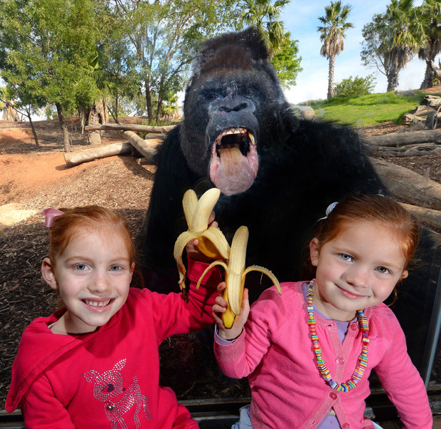 Gorilla photobombs picture