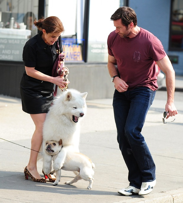 Hugh Jackman, dog, French Bull dog