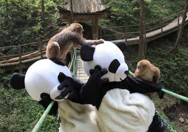 Monkeys with employees dressed as pandas
