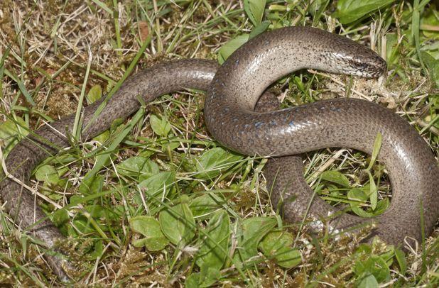 A Slow Worm (Anguis fragilis)